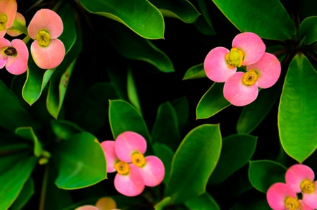 Pink flower with green leaf plant in garden , also know as  photo