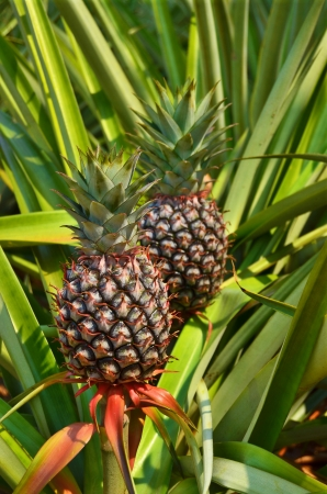 Fresh Pineapple in farm , Tropical fruits Stock Photo - 14016400