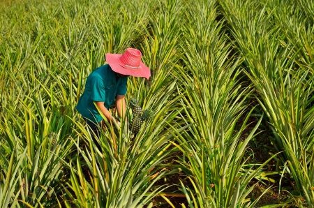 Farmer harvesting in pineapple farm , fruits field photo