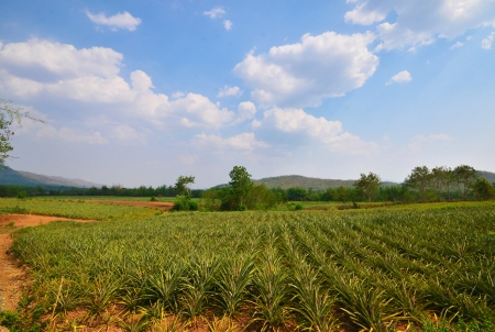 Pineapple farm , fruits field with beautiful sky photo