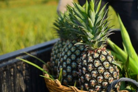 Pineapple fresh from farm photo