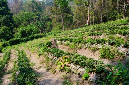 Strawberry farm in Northern of Thailand Stock Photo - 18236821