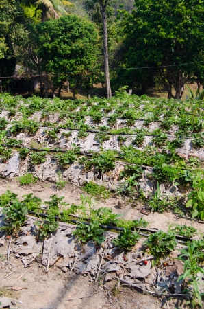 Strawberry farm in Northern of Thailand Stock Photo - 18236816