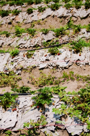 Strawberry farm in Northern of Thailand Stock Photo - 18236869