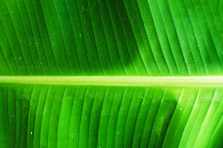 Closeup of banana leaf texture background photo