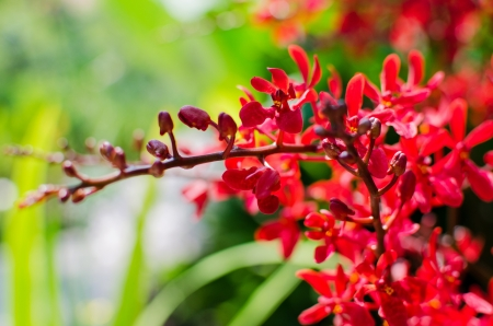 carpel: Beautiful bright red orchid flowers in Botanical garden , close up details Stock Photo