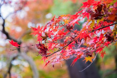 autumn colour: Colorful leaves on maple tree in garden in autumn season
