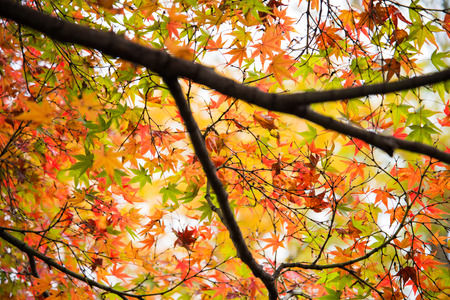 autumn color: Colorful leaves on maple tree in garden in autumn season