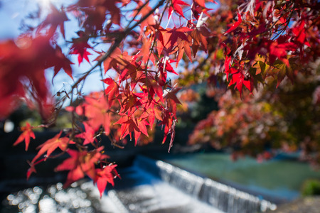 fall leaf: Colorful leaves on maple tree near the river Stock Photo