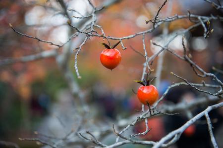 arboles frutales: Pequeños frutos en la rama seca en el jardín Foto de archivo