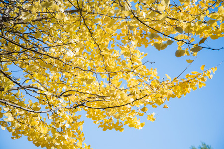 tree branch: Bright yellow color leaves on ginkgo tree in garden Stock Photo