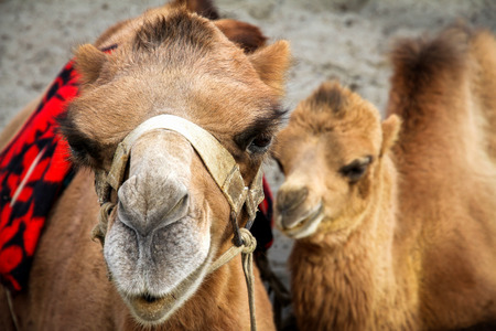 close shot: Close shot on cute camel and her calf, India Stock Photo