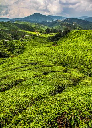 tree plantation: Beautiful View on Green Tea Plantation, Cameron Highlands, Malaysia Stock Photo