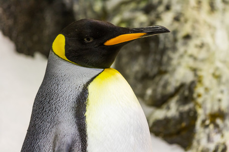 Detail of penguin with black head,orange beak,white-silver body-Loro Parque,Tenerife,Canary Islands,Spain photo