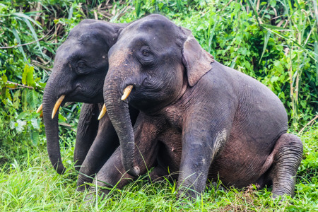 pigmy: Elephant Love - Two Young Elephants playing