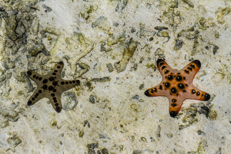 mabul: Two cushion starfishes underwater with sunlight on sandy seabed - Mabul,Borneo,Malaysia,Asia
