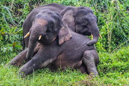 pigmy: Elephant Love - Two Young Elephants playing in lush green Jungle - Kinabatangan safari, Borneo, Malaysia, Asia, soft focus Stock Photo