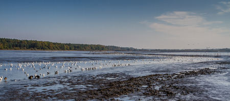 bevy: Bevy of birds floating in mud of Rozmberk pond while fishing out period-Trebon,Czech Republic Stock Photo