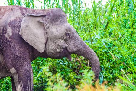 pigmy: Elephant Closeup in the lush green Jungle - Kinabatangan safari, Borneo, Malaysia, Asia Stock Photo