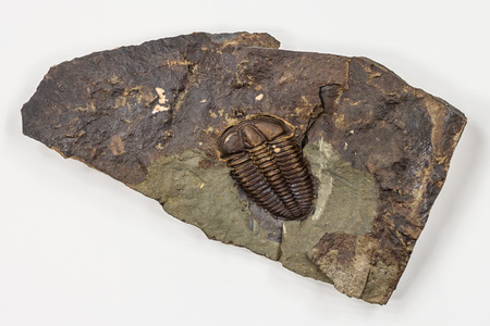 The Detail of Big Brown Isolated Trilobite with White Background Stock Photo