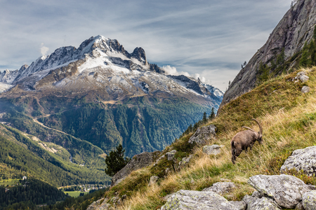 aiguille: View Of Aiguille Verte And Capricorn Grazing Grass - Mont Blanc Area, France