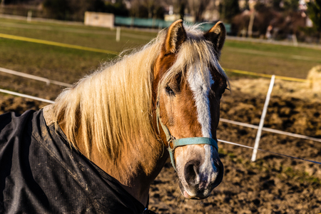 halter: Horse Head With Halter During Sunny Winter Day-Czech Republic