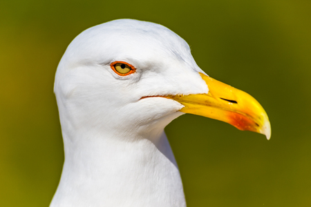 Beautiful Head Of Seagull With Green Background