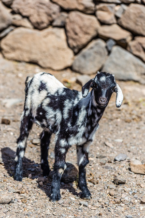 wild canary: One Standing Goat - Fuerteventura, Canary Islands, Spain Stock Photo