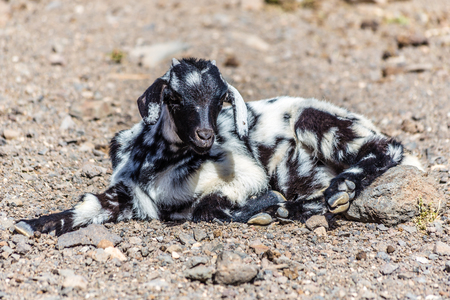 One Laying Goat - Fuerteventura, Canary Islands, Spain