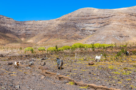yeanling: Goats In The Mountains - Fuerteventura, Canary Islands, Spain Stock Photo