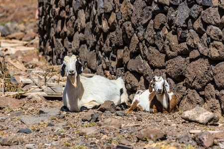 wild canary: Two Laying Goats - Fuerteventura, Canary Islands, Spain