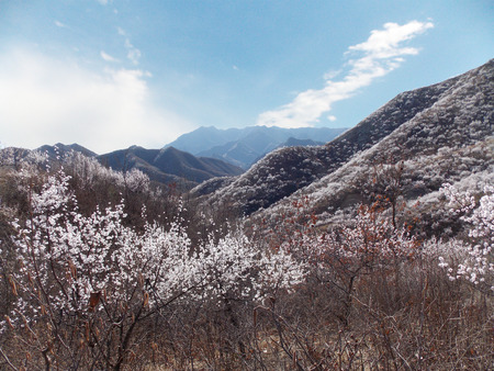 clear away: In March the snow covered mountain apricot bloom like blue sky and white clouds in the blue mountains