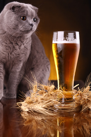 Scottish fold cat checking out a glass of light beer