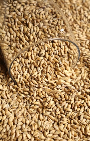 barley malt: Tall beer glass with barley malt grains on a layer of malt