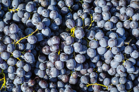 Freshly picked autumn grape harvest in a pile Stock Photo