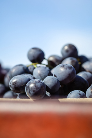 Close up shot of freshly picked grapes with a blue sky in the background