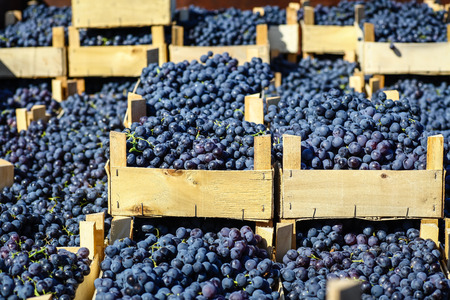 Freshly picked autumn grape harvest piled in wooden crates