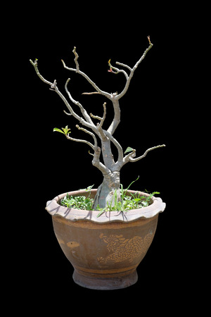 obesum: Isolated in black . Impala Lily Adenium, desert rose, apocynaceae, Adenium obesum is its science name.