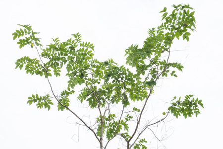 leafs: tree on white background, green leafs. Stock Photo