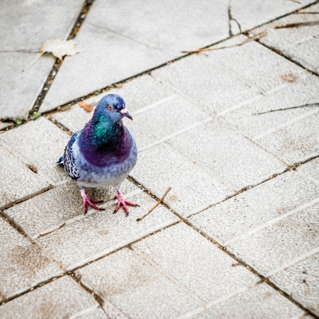 Pigeon is walking on tiled street shot from above