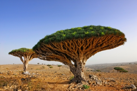 Endemic plant Dragon Blood Tree in the island Socotra Stock fotó
