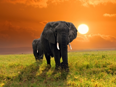 Two adult african elephants walking in savannah against sunset, Serengeti, Tanzania photo