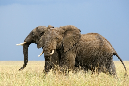 Two afraid african elephants running in savanna photo