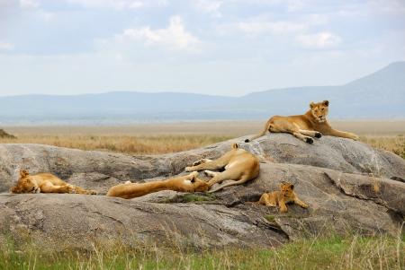 leones: Descansando Leona con cachorro en las rocas en el parque nacional de Serengeti, Tanzania