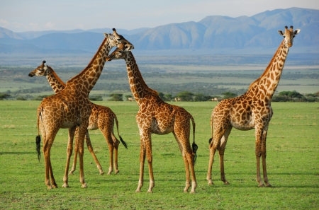 Giraffes herd in savannah, Tanzania photo