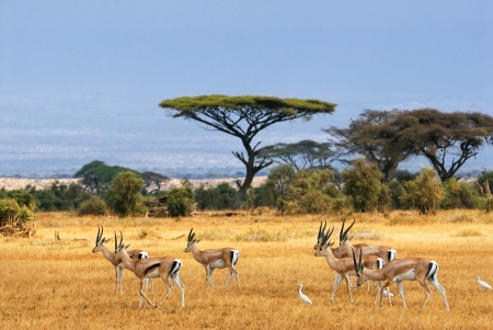 African landscape with gazelles, Amboseli, Kenya photo