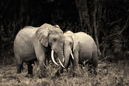African elephants in the gentle pose are embraced in the woods, Kenya photo