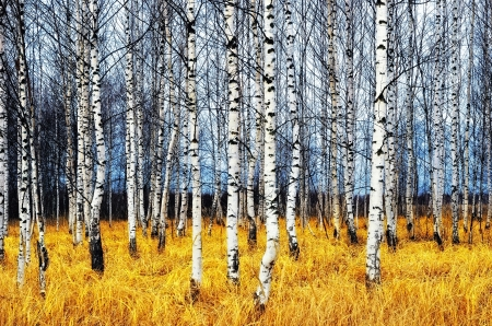 A autumn birch grove among orange grass Imagens