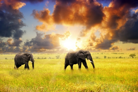 African landscape  African elephants at sunset in the savannah, Serengeti, Tanzania photo