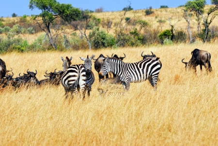 African landscape with antelopes wildebeest and zebras, Kenya photo